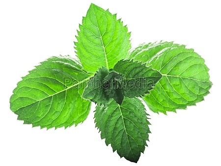 peppermint leaves mentha piperita foliage isolated