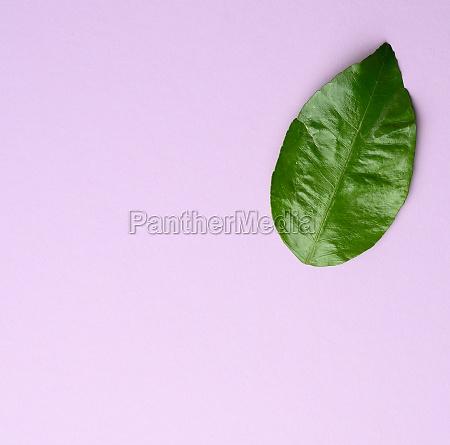 green mandarin leaf on purple background