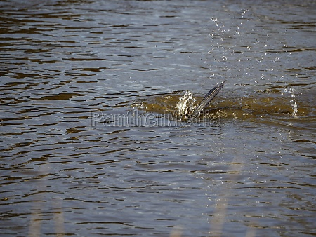cormorant while diving