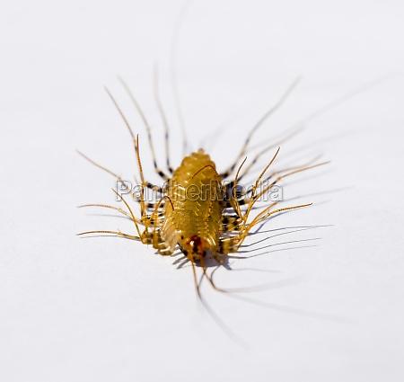 the flycatcher scutigera coleoptrata centipede flycatcher