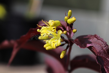 yellow flowers glow on burgundy honeysuckle