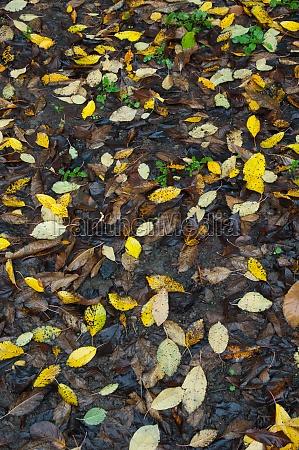 fallen leaves of sweet chestnuts