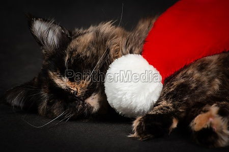 sleepy new year maine coon cat