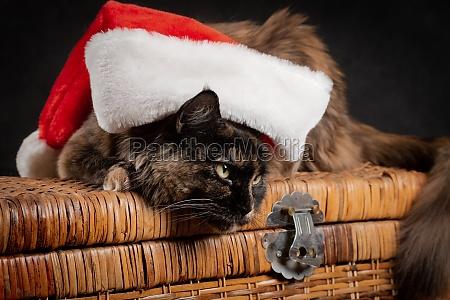 tortoiseshell cat under new year cap