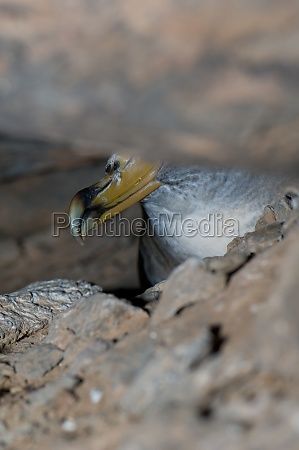 corys shearwater calonectris borealis in the
