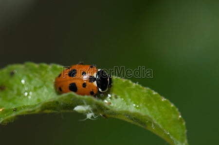 adonis ladybird hippodamia variegata on a