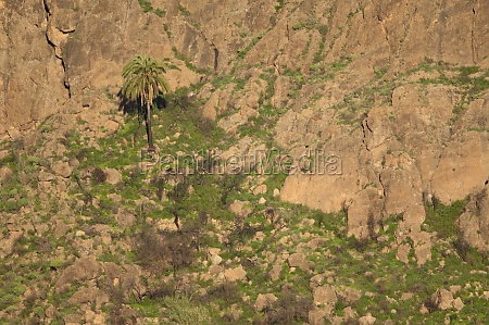 canary island date palm phoenix canariensis