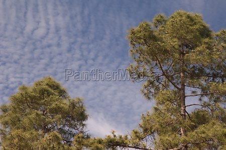 canary island pines pinus canariensis in