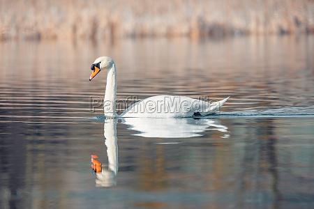 wild bird mute swan in spring