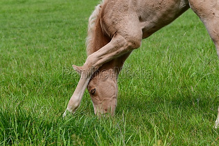 a young palomino filly doing some