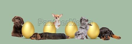 five puppies arranged around golden easter