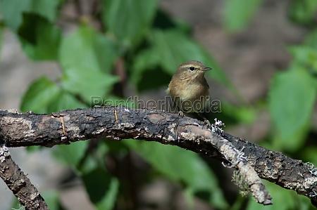canary islands chiffchaff phylloscopus canariensis on