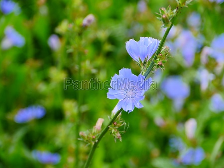 chicory delicate blue flowers