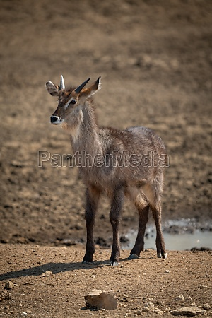 young male common waterbuck standing watching