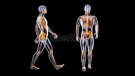 3d anatomy concept of a xray