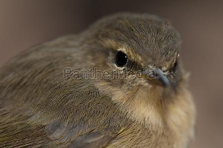 portrait of canary islands chiffchaff phylloscopus