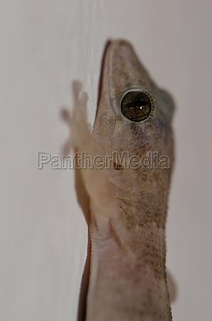 boettgers wall gecko tarentola boettgeri cruz