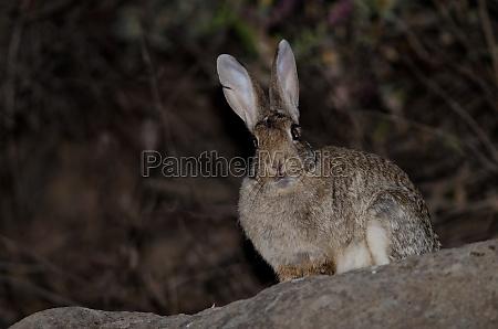 european rabbit oryctolagus cuniculus the nublo