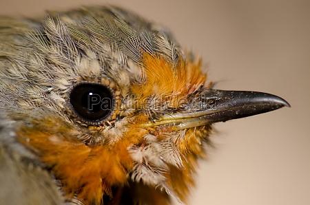 head of european robin erithacus rubecula