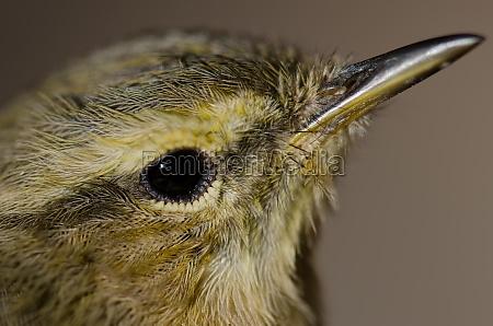 head of canary islands chiffchaff phylloscopus