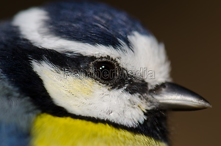 head of african blue tit cyanistes