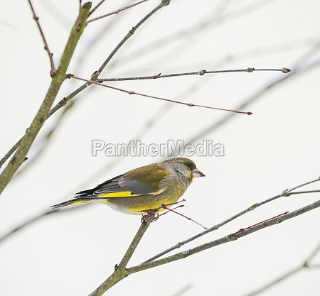 greenfinch sitting on the twig of