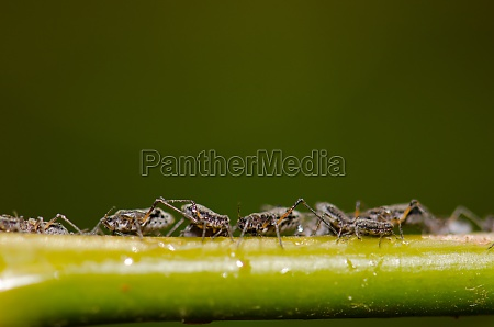 aphids on a plant stem the