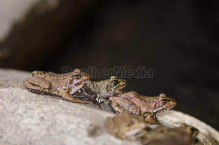 perezs frogs pelophylax perezi the nublo