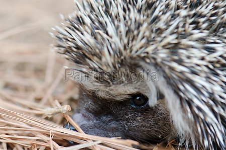 north african hedgehog atelerix algirus the