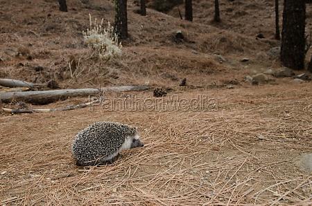 north african hedgehog atelerix algirus the