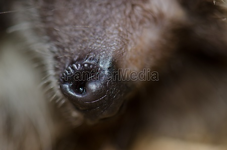 snout of a north african hedgehog