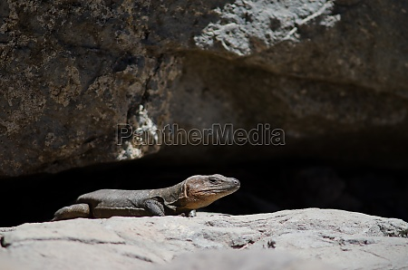 male gran canaria giant lizard gallotia