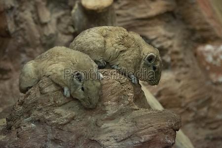 ctenodactylus gundi on the rock
