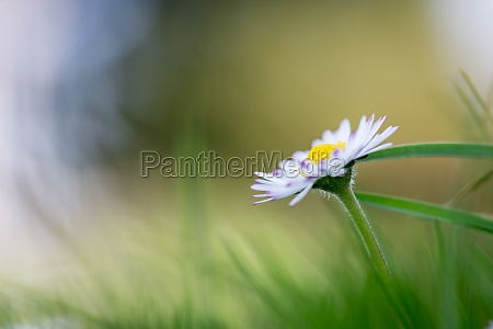 daisy in springtime close up picture