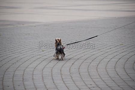 shaggy little dog on leash is