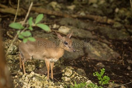 skittish miniature antelopes at the zanzibar