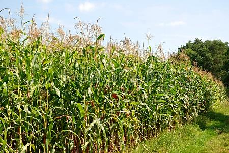 cornfield in brandenburg germany