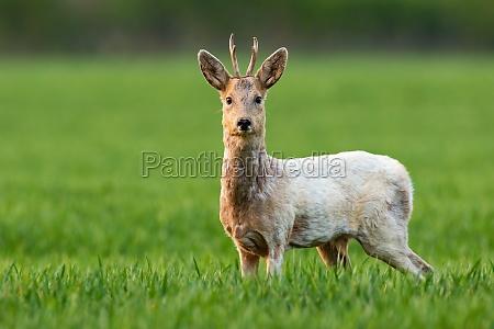 albino roe deer buck staring into