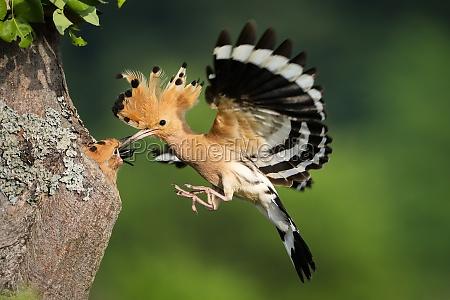 eurasian hoopoe feeding chick in flight