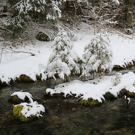 snow covered small trees and creek