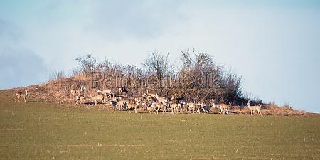 herd of european roe deer