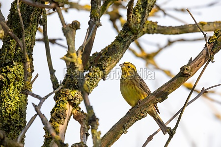 bird yellowhammer europe wildlife
