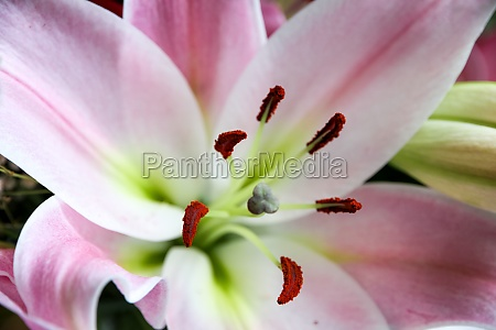 lily flower macro view