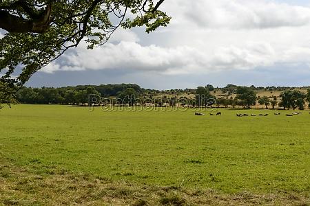 herd in somerset countryside