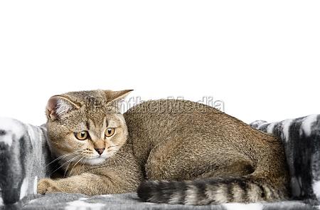 gray purebred kitten scottish straight chinchilla