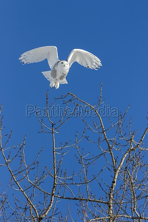 female snowy owl bubo scandiacus takes