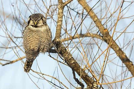 northern hawk owl surnia ulula perched