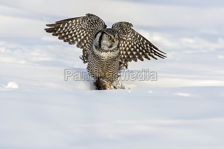 hawk owl surnia ulula with a