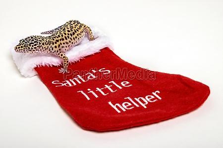 leopard gecko eublepharis macularius getting ready