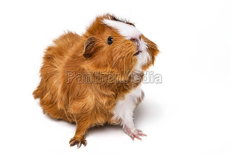 abysinnian guinea pig cavia porcellus on